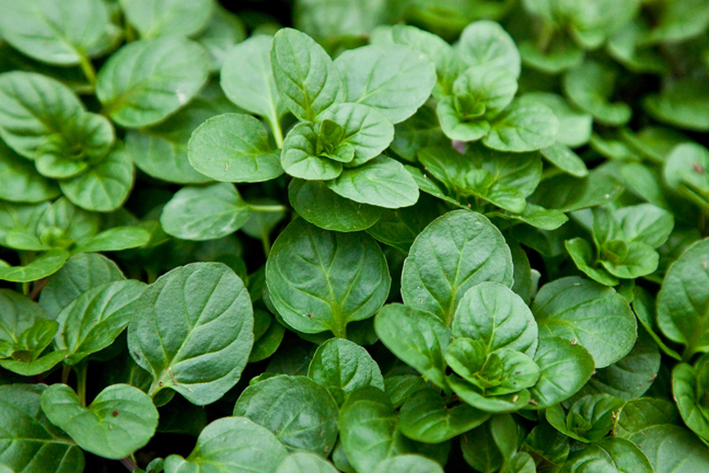 Mint 'Orange Bergamot' (Mentha citrata)
