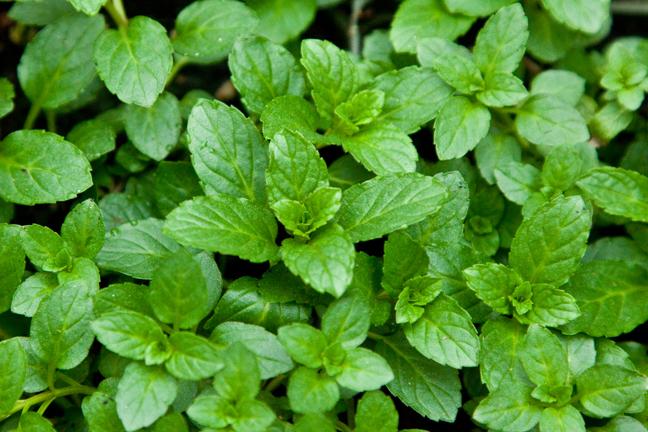 Mint 'Swiss Riccola' (Mentha x piperita)