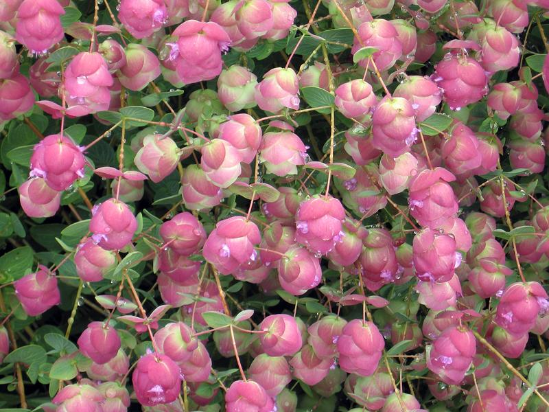 Oregano 'Barbara Tingey' (Origanum rotundifolium x scabrum)