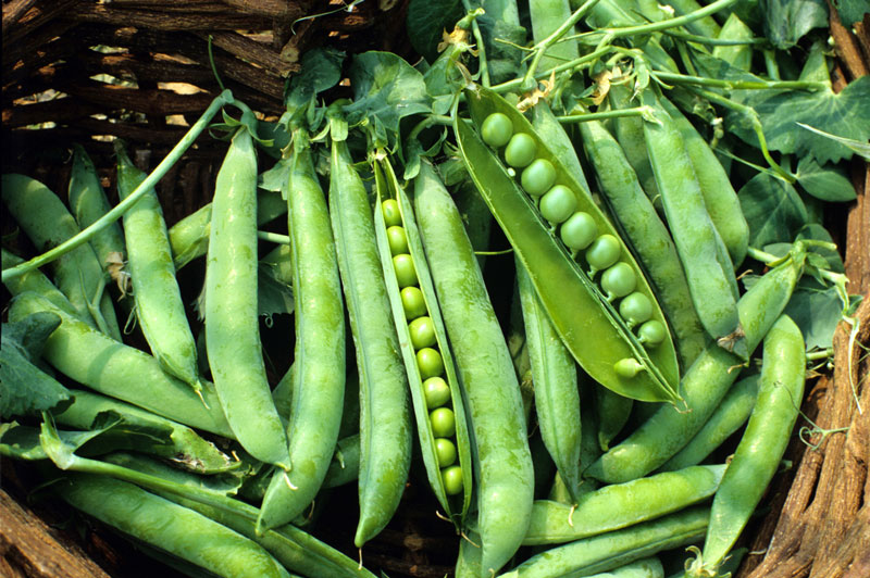 Pea 'Green Arrow' Shelling Pea