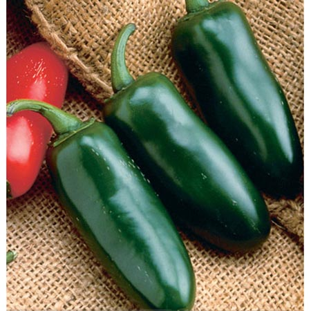 Pepper (Hot) 'Jalapeño'
