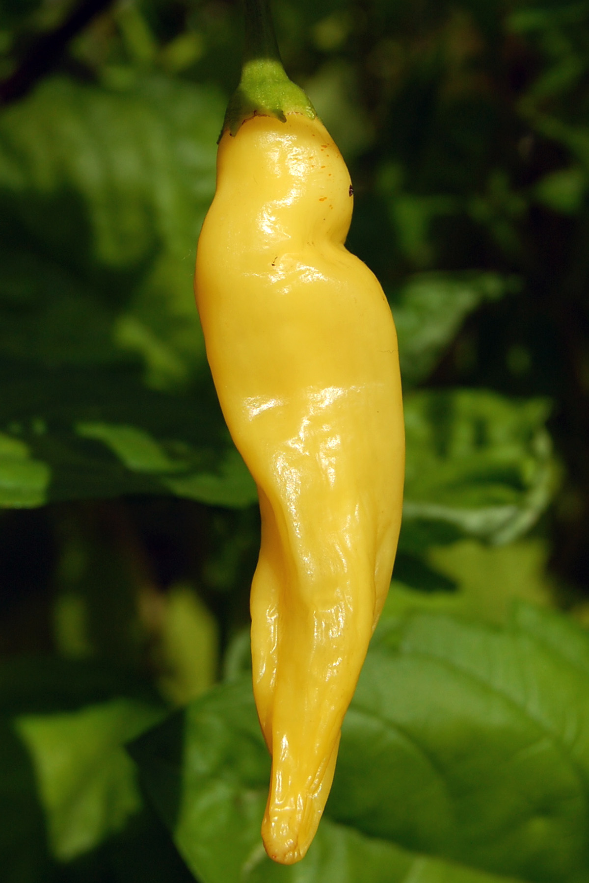 Heirloom Pepper (Hot) 'Lemon Drop'