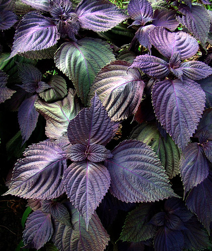 Perilla 'Purple Shiso'