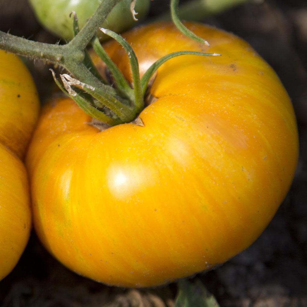 Tomato 'Porkchop'