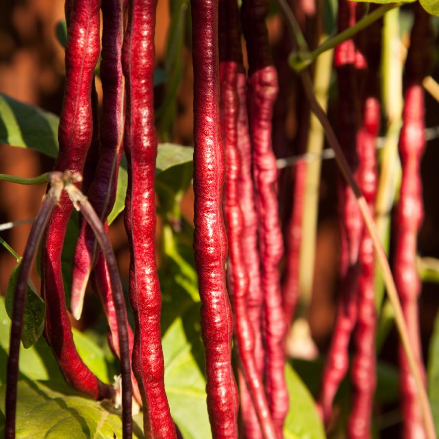 Heirloom Bean 'Red Noodle' Yard Long Pole BeanBean