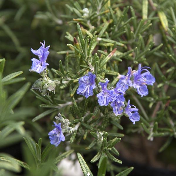 Rosemary Trailing 'Seven Seas' (Rosmarinus officinalis)