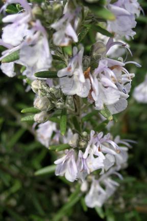 Rosemary 'Arp' (Rosmarinus officinalis)