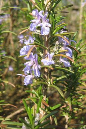 Rosemary 'Blue Spire' (Rosmarinus officinalis)