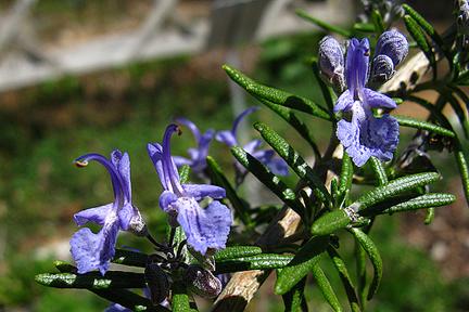 Rosemary 'Irene' (Rosmarinus officinalis)
