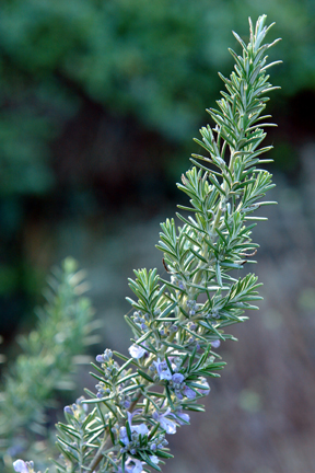 Rosemary 'Sudbury Blue' (Rosmarinus officinalis)
