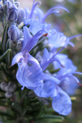 Rosemary 'Tuscan Blue' (Rosmarinus officinalis)
