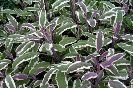 Sage 'Tricolor' (Salvia officinalis)