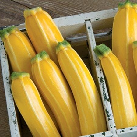 Squash (Summer) 'Goldmine' Zucchini