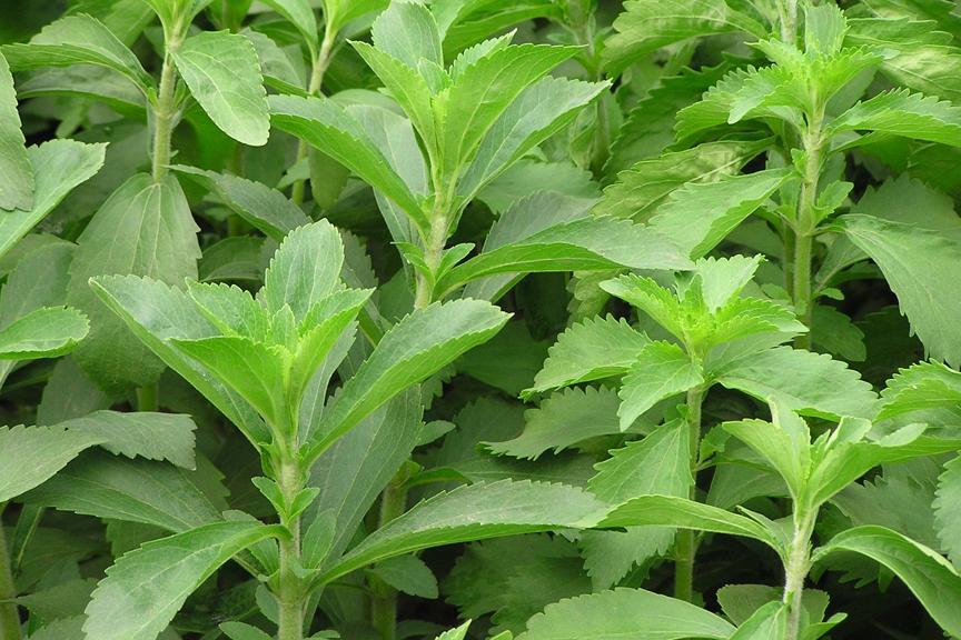 STEVIA rebaudiana 'Sweet Herb of Paraguay'