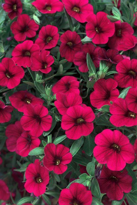 Petunia 'Superbells Red', Calibrachoa