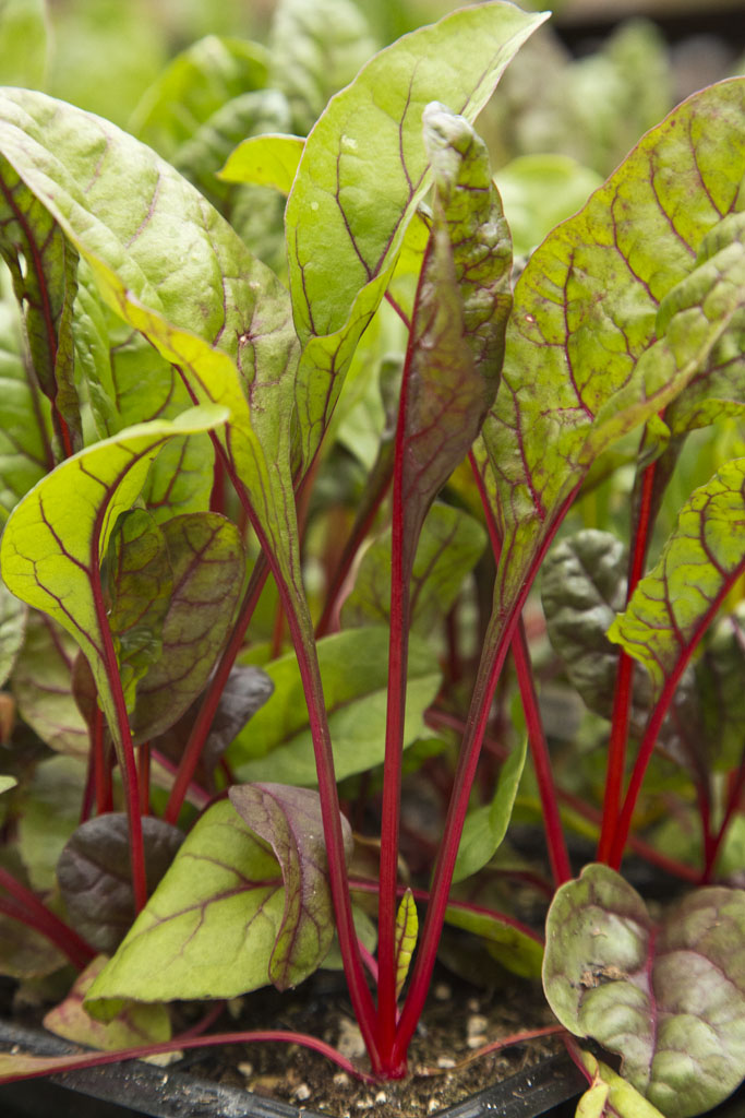 Swiss Chard 'Intense'