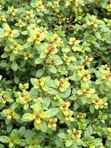 THYME 'Archer's Gold' (Thymus sp.)