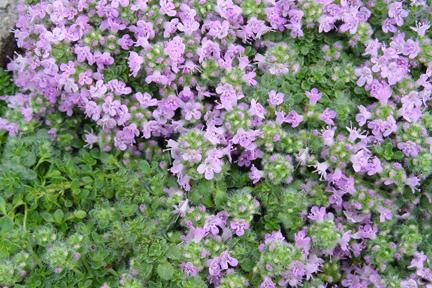 Thyme minus 'Elfin' (Thymus serpyllum minus)