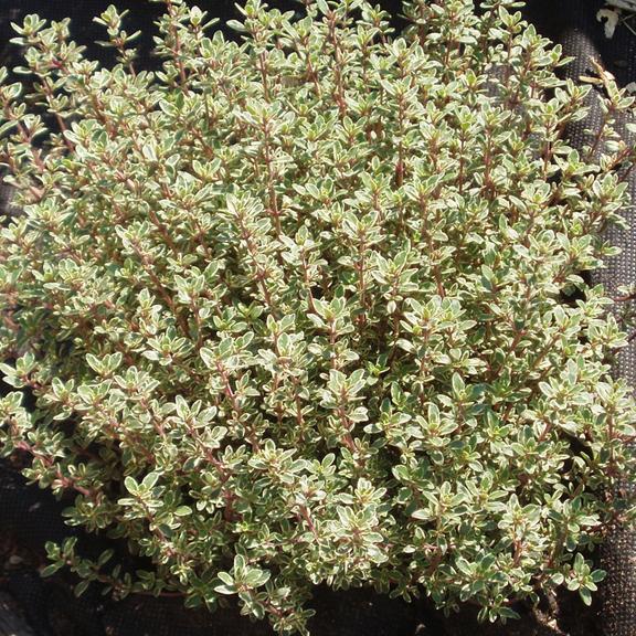 Thyme 'Silver Queen' (Thymus x citriodorus)