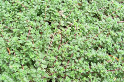 Thyme 'Woolly' (Thymus pseudolanuginosus)