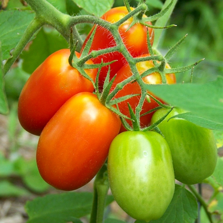 Tomato 'Juliet' Grape Tomato