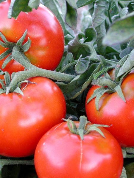 Tomato 'Santiam'