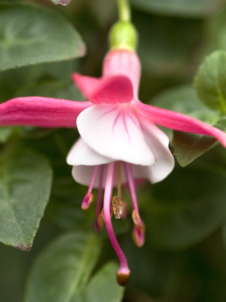 Upright Fuchsia String of Pearls