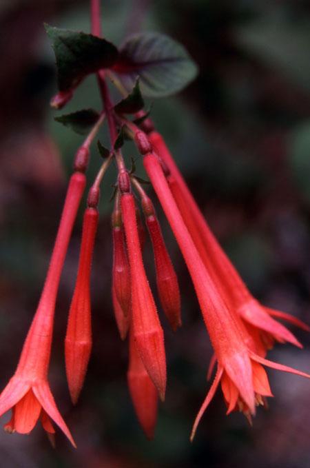 fuchsia Coral