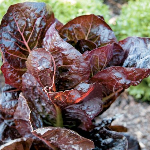 Lettuce 'Marshall' Red Romaine