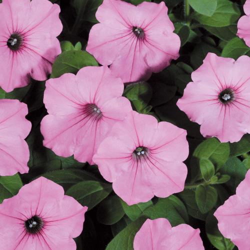 Petunia 'Supertunia Vista Bubblegum'