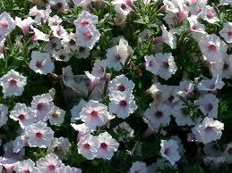 Petunia 'Supertunia Vista Silverberry'