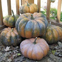 Heirloom Squash 'Musque de Provence' Pumpkin