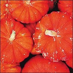 Heirloom Squash 'Rouge Vif d'Etampes' Pumpkin
