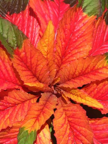 Amaranthus gangeticus 'Illumination'