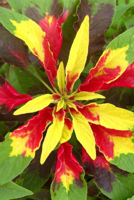 Amaranthus tricolor splendens 'Perfecta'