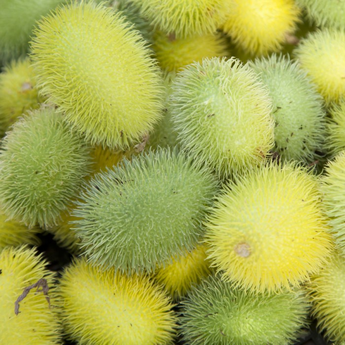 Cucumis dipsaceous Hedgehog Gourd
