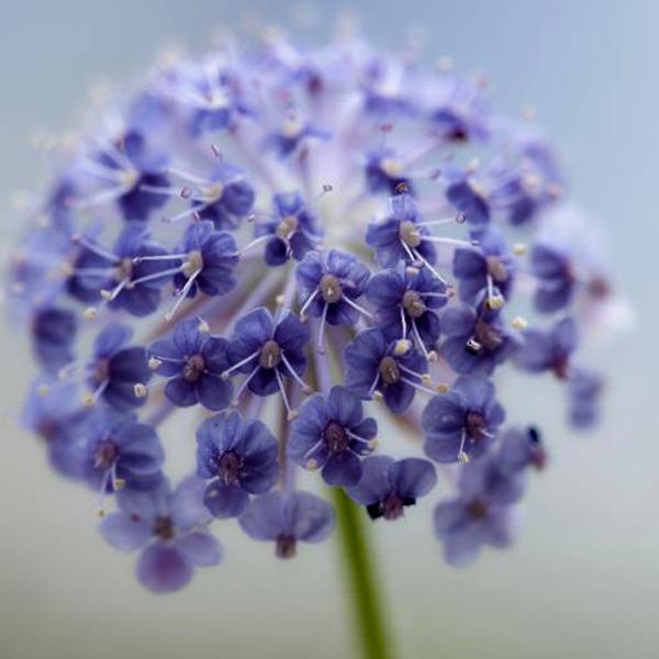 Didiscus coeruleus 'Blue Lace'