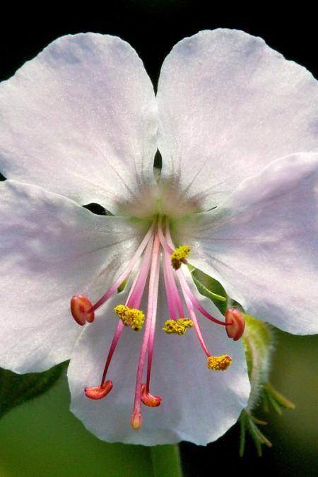 Geranium x cantabrigiense 'Biokovo' (cranesbill)