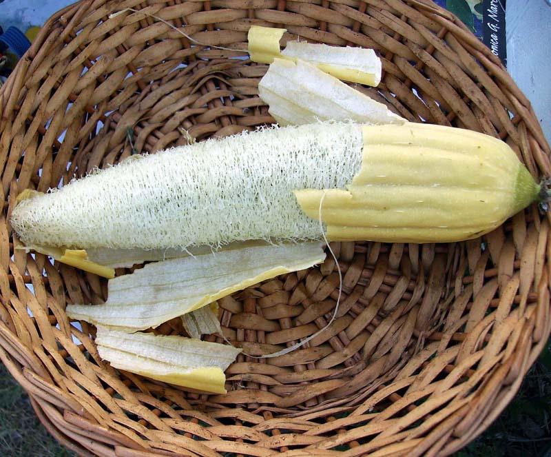 Decorative Gourd 'Luffa' Large Gourd