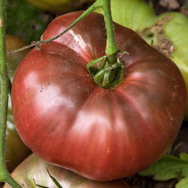 Heirloom Tomato 'Cherokee Purple'