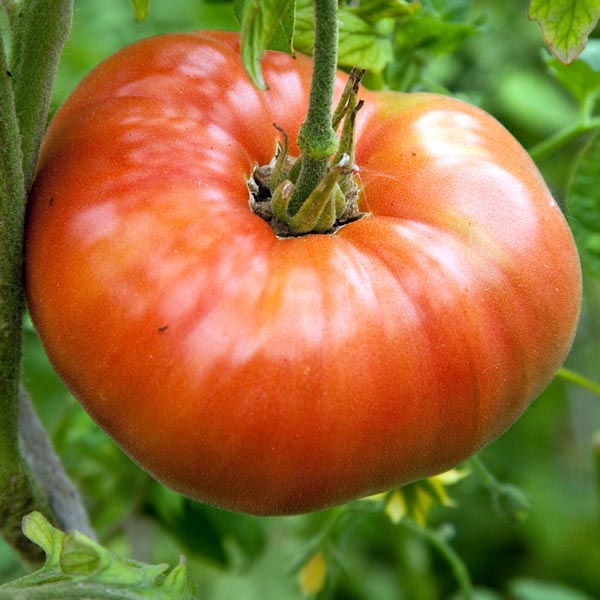 Heirloom Tomato 'Hattie Mae'