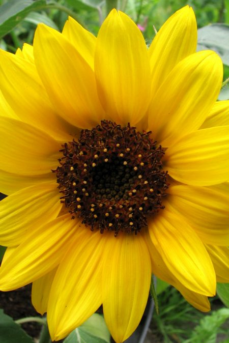 Helianthus annuus 'Big Smile' Sunflower
