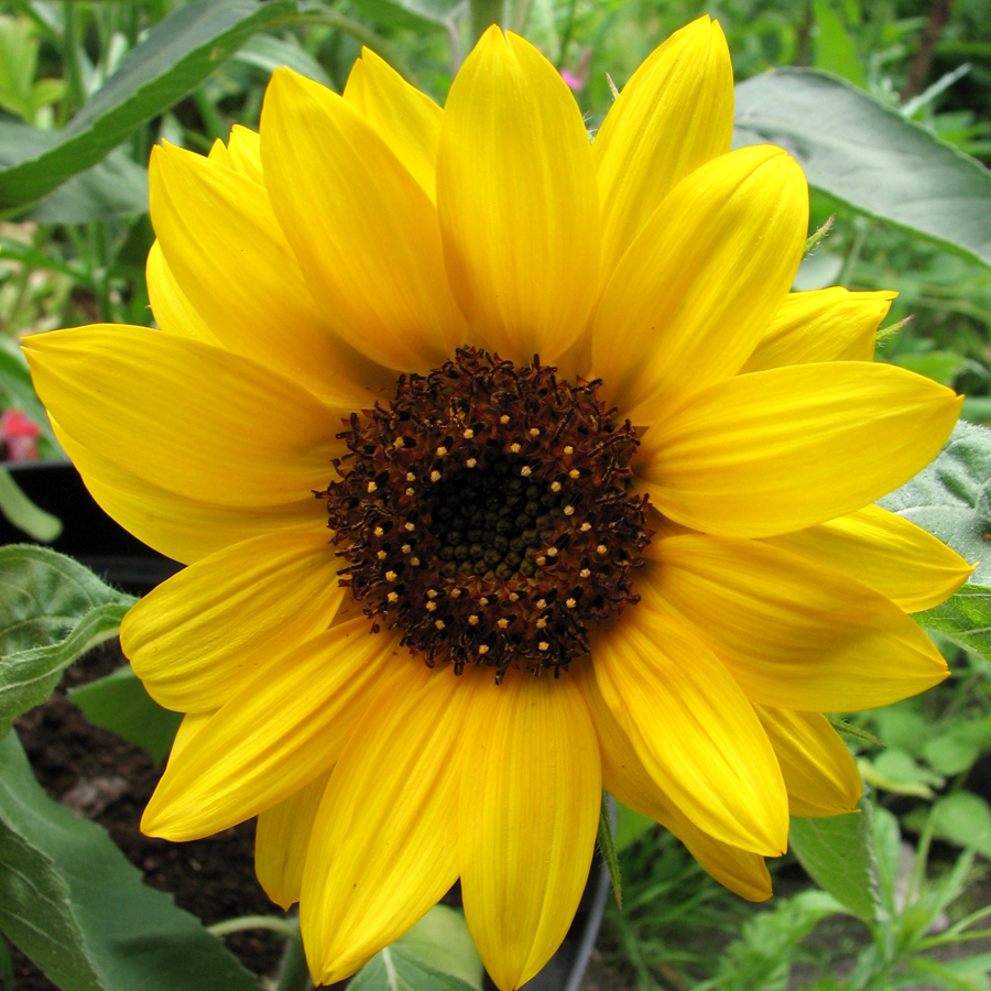 Helianthus annuus 'Big Smile' Sunflower