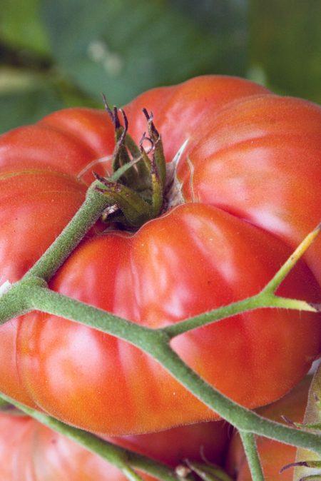 Heirloom Tomato 'Marianna's Peace'