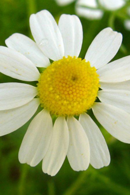 Matricaria recutita 'German Chamomile'