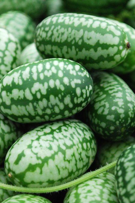 Gherkin 'Mexican Sour Gherkin'