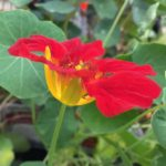 Tropaeolum minus 'Empress of India'