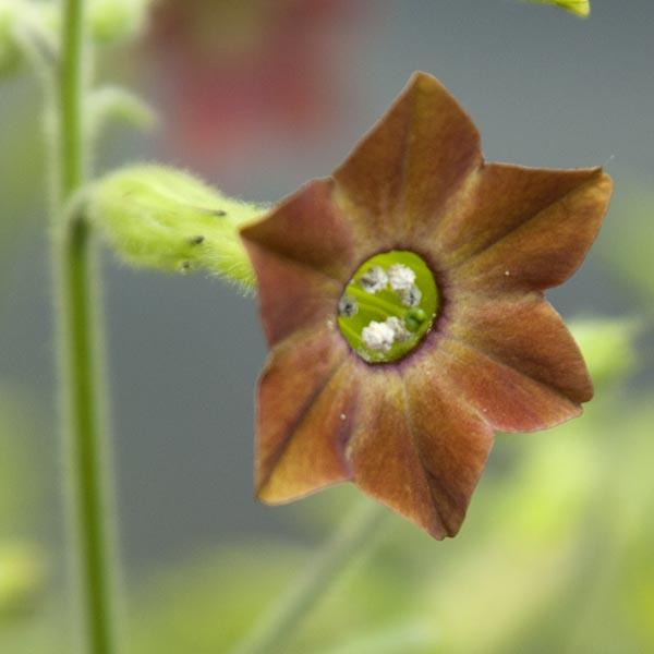 Nicotiana sp. 'Bingerdon Brown'