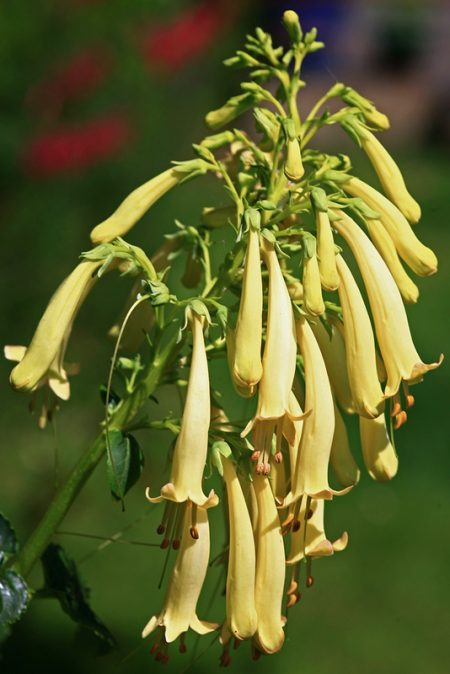 Phygelius phoeges 'Lemon Frost' (Cape fuchsia)