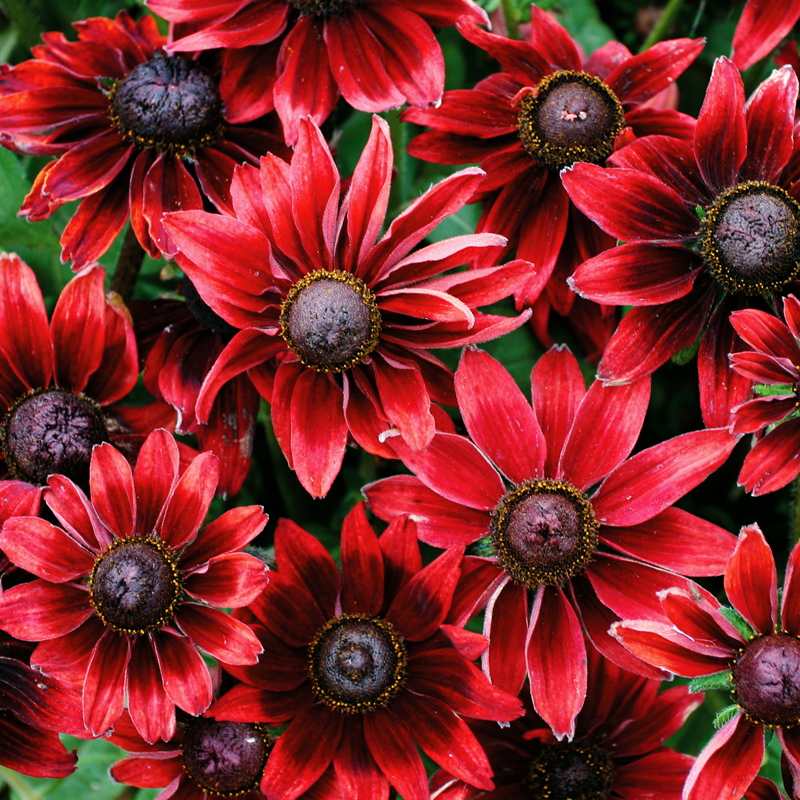 Rudbeckia hirta 'Cherry Brandy' (black-eyed susan)